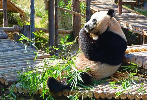 Panda im Zoo von Chiang Mai